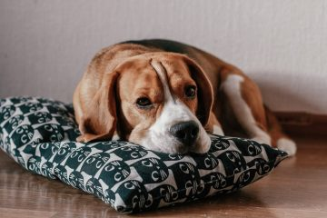 photo of brown and white short coated beagle lying on a pillow